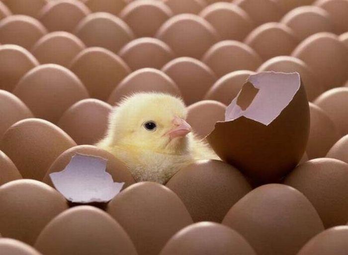 a-different-chicken